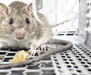 Get Rid of Rodent in UAE